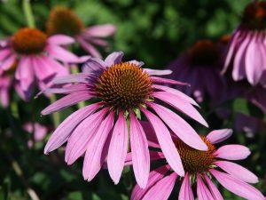 Les plantes naturelles pour combattre le rhume